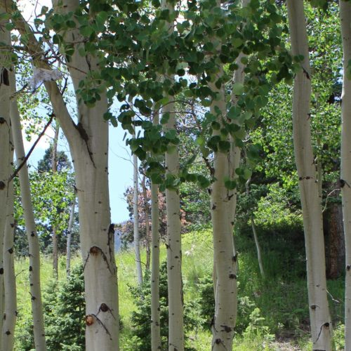Care for Colorados Aspen in Rye Colorado Trees at Aspen Acres Campground