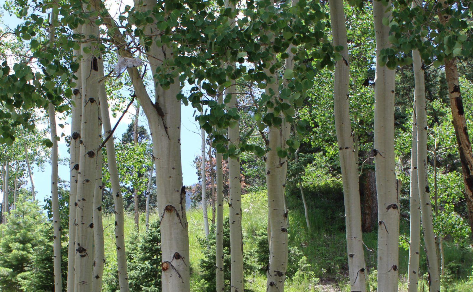 Responsible Colorado Camping: Aspen Trees (bark, specifically)