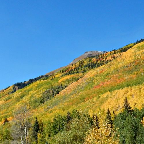 Aspen trees in Colorado in autumn