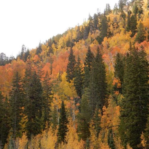 Aspen Leaves in Colorado