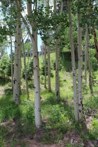 Part of a healthy stand of aspen trees at Aspen Acres Campground in Rye Colorado