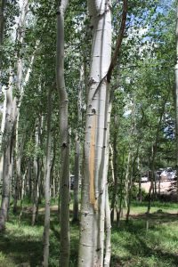 Bark stripped from an aspen tree at Aspen Acres Campground in Rye Colorado