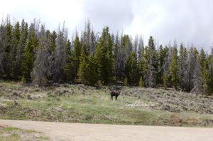 Moose in North Park photo by CampColorado.com