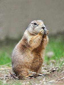 Prairie Dog image by US Fish & Wildlife Service
